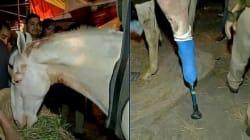 Injured Police Horse Shaktiman's Leg Amputated, Bjp Worker