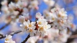 「桜が咲いた」各地で開花を喜ぶ声 東京でも(画像集)