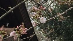 東京で桜開花 満開はいつごろ?