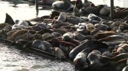 Une technique très originale pour se débarrasser de lions de mer