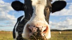 Comment la maladie de la vache folle a pu réapparaître en