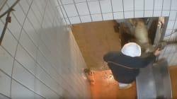 Un nouveau cas de maltraitance animale dans un abattoir des