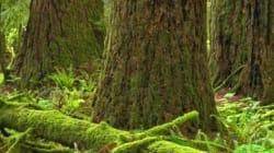 Forêts anciennes sur l'île de Vancouver: cri d'alarme des
