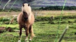 La crinière de ce cheval vaut le