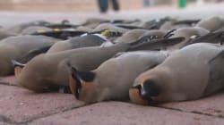 Une trentaine d'oiseaux retrouvés morts à