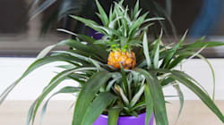 Growing Your Own Pineapple Is Way Easier Than You'd