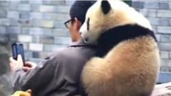 パンダと大親友の飼育員。自撮りしようとすると...(動画)