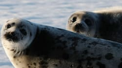 Government Inaction On Seal Hunt Threatens Both Seals And