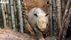 Near-Extinct Sumatran Rhino Dies Mere Weeks After Being Discovered In