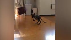 Ce bébé wallaby apprend à marcher, et ça n'a pas l'air