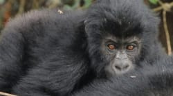 All Gorillas In The Wild Are Now At High Risk Of