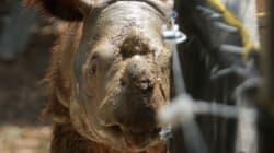Un des derniers rhinocéros de Sumatra meurt peu après avoir été