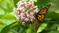Got Milkweed? Monarch Butterflies Still Need Your