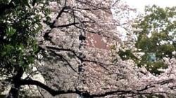 誰にも等しく桜が咲く