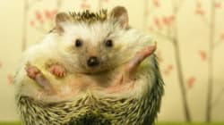 You Can Now Visit A Hedgehog Cafe In