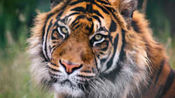 For The First Time In A Century, Wild Tiger Numbers Are On The