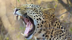 Caught On Camera: Leopard Attacks Youths Near Army Hospital In