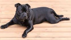 Les 10 chiens les plus répandus dans les foyers