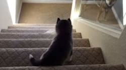 WATCH: Husky Puppy Takes Tumble Down