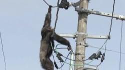 Ce chimpanzé l'a échappé