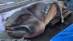 グロい?かわいい?幻の「メガマウス」巨大深海魚が水揚げされる