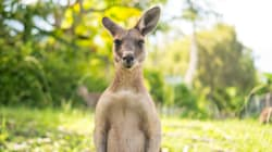 Kangaroo Meat And Seafood Might Soon Become The Aussie Staple Diet Due To Climate