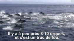 L'impressionnante embuscade tendue par des orques à un banc de dauphins