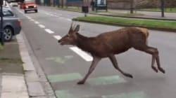 Un renne dans Rennes (enfin