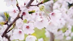 雨にも風にも負けず 復興記念桜、花開く