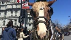 Calèches dans le Vieux-Montréal: vifs échanges devant l'hôtel de