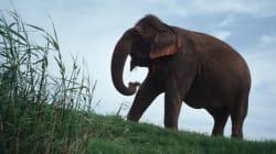 Indignation du Web après la mort de cette éléphante pour