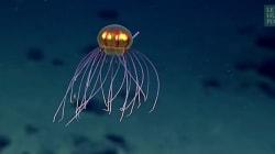 Une incroyable méduse dans les profondeurs de l'océan