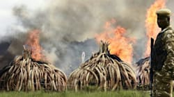 Kenya Sets Tons Of Ivory On Fire To Protest