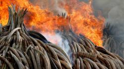 Le Kenya brûle la plus grande quantité d'ivoire de l'histoire