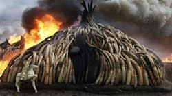 Kenya Lights A $100 Million Ivory Bonfire To Save