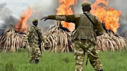Kenya Lights A $100 Million Ivory Bonfire To Save