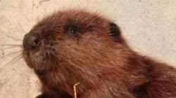 Thin And Dehydrated 'Justin Beaver' Makes A