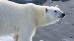 U.S. Gives Up Trying To Stop The Trade Of Polar Bear