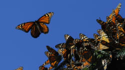 Endangered Monarch Butterflies Face Their Greatest