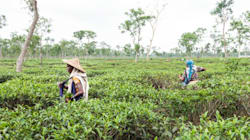 紅茶にまつわるバングラデシュの新しい飲用文化