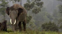 Une vétérinaire meurt piétinée par un éléphant en