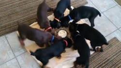 Regarder ces chiots manger leur gamelle est