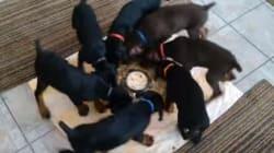 La tecnica con cui questi cuccioli consumano la loro cena vi