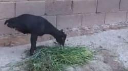 Cette chèvre à deux pattes nous impressionne par sa