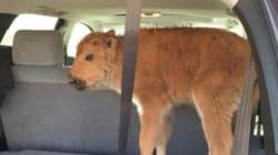 Un bébé bison euthanasié après avoir été embarqué en voiture par des