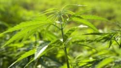 Cannabis terapeutica, ecco cosa dice la legge e come