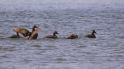 Le tiers des espèces d'oiseaux menacées