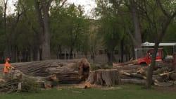Des peupliers centenaires disparaissent du parc La