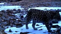 Des images d'un jeune Amur, le léopard le plus menacé au