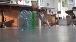 WATCH: Jack Russell Grabs Life By The